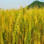 えん麦(オーツ麦)と大麦の違いは?ダイエット効果・効能の口コミ